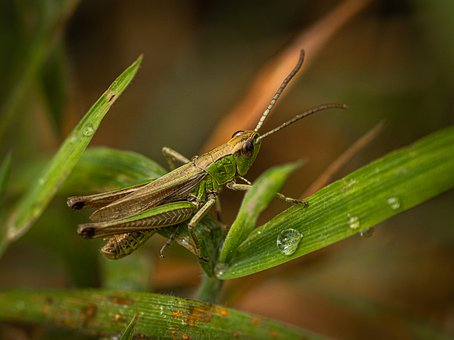 Grasshopper, Insect, Animal, Nature, Viridissima, Probe
