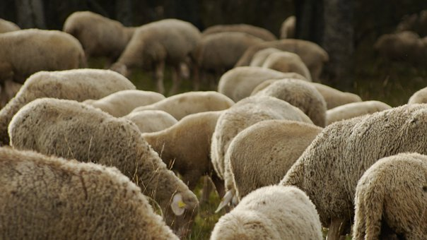 Sheep, Herd, Flock Of Sheep, Pasture, Fence