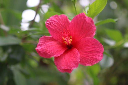 Hibiscus, Red, Flower, Bloom, Nature, Flora, Pistil