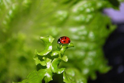 Ladybug, Ladybird, Animal, Lettuce, Green, Insect