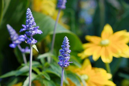 Flowers, Lavender, Petals, Leaves, Foliage, Nature