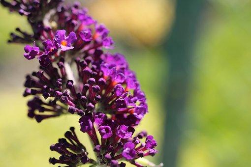 Summer Lilac, Blossom, Bloom, Plant, Garden, Nature
