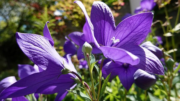 Flower, Petals, Balloon Bell, Platycodon Grandiflorus