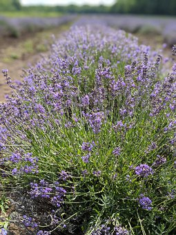 Lavender, Field, Meadow, Flowers, Grass, Herbs, Plants