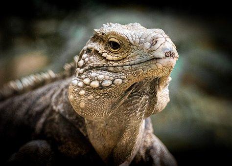 Lizard, Reptile, Rough, Face, Animal, Fauna, Leguan