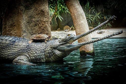 Crocodile, Turtle, Reptile, Lake, Scales, Animal, Fauna