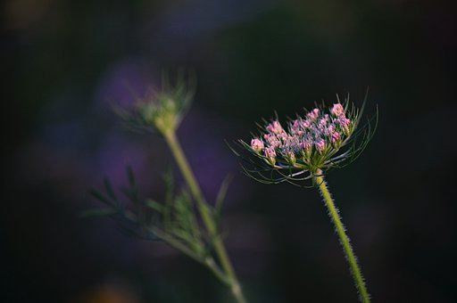 Flowers, Petals, Leaves, Foliage, Stems, Wild Carrot