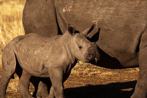 Rhino, Baby Rhino, Wild Life, Wild, Animal, Mammal