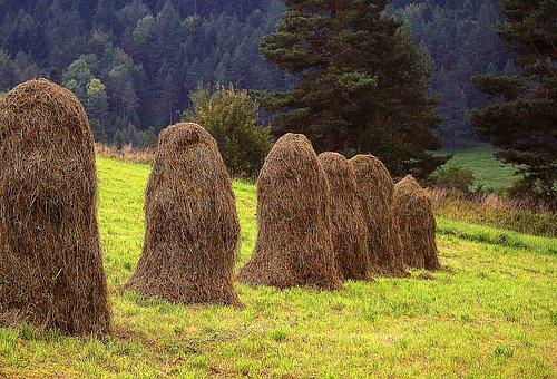 Kopki Hay, Air Drying Grass, Hay, Meadow Skoszona