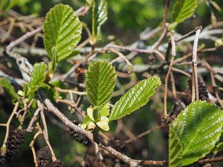 Alder, Black Alder, Fresh Leaves, Fresh Green, New Leaf