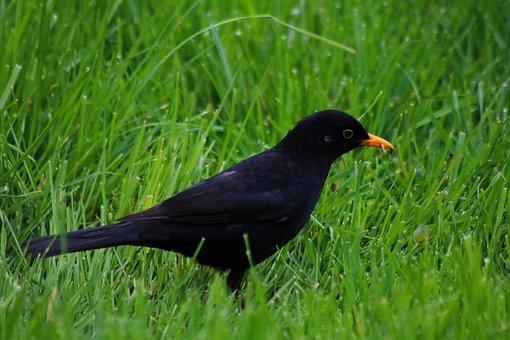 Bird, Blackbird, True, Animal, Grass, Black, Nature