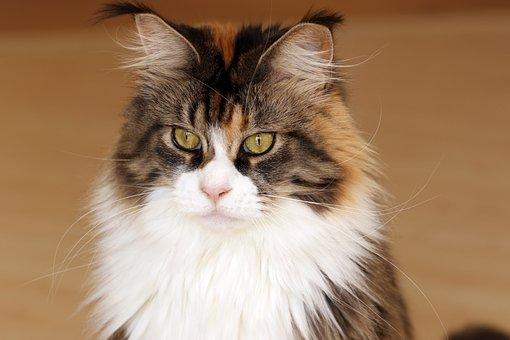 Cat, Maine Coon, Look, Animal, Futrzak, Domestic Cat