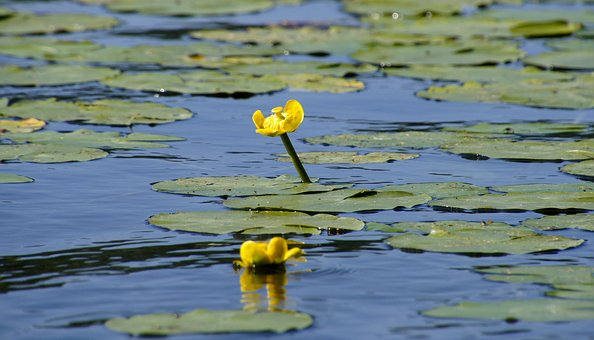 Water Lily, Pond, Aquatic Plant, Flower, Nature, Water