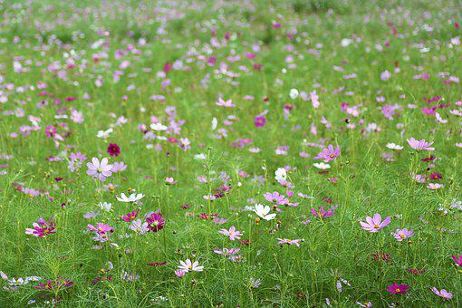 Cosmos, Autumn, Flowers, Pink, Nature, Sky Park, S