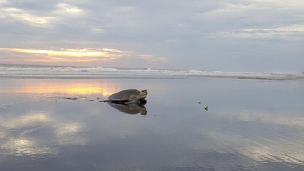 Turtle, Ocean, Sea, Sea Turtle, Sunset, Beach, Island