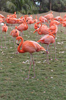 Flamingos, Pink, Flock, Bird, Leg
