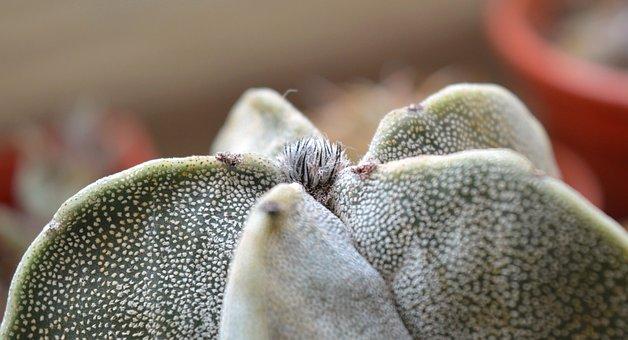 Astrophytum, Cactus, Succulent, Indoor Plant