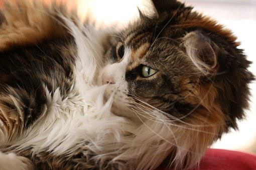 Cat, Maine Coon, Breed, Thoroughbred, Cat's Eyes, Look