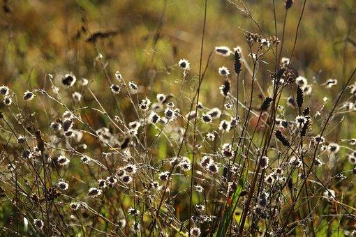 Autumn, Grass, Rabbit Clover, Meadow, Pasture, Dry