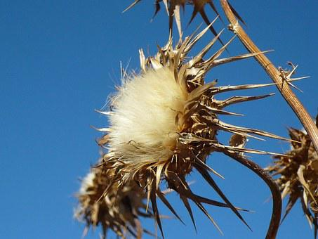 Thistle, Flower, Dry, Daba, Sun, Desert, Withered
