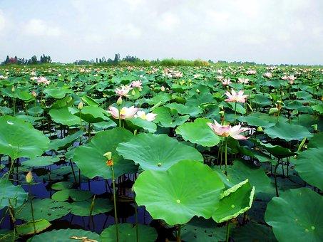 Pond, Water Lily, Flower, Vietnam, Immense Green