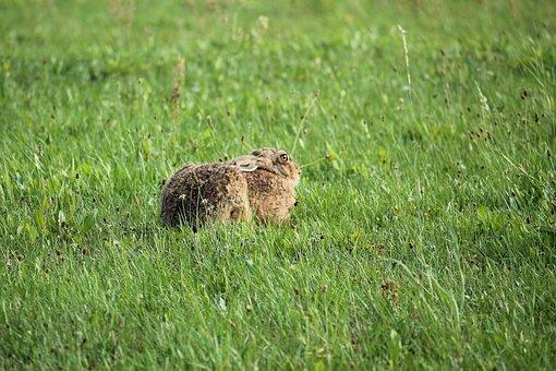 Hare, Meadow, Nature, Mammal, Wild Hare, Freilebend