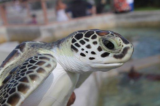 Sea Turtle, Green Sea Turtle, Cayman Turtle, Sea