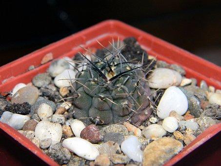 Gymnocalycium, Cactus, Succulent