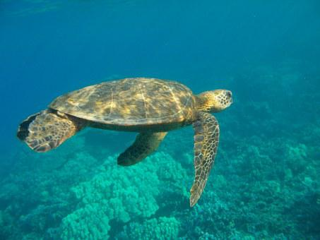 Sea Turtle, Underwater, Hawaii, Sea, Turtle, Marine