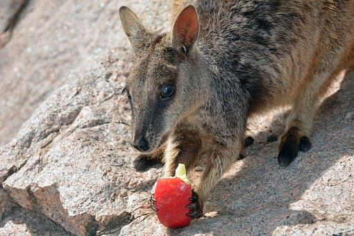 Wallaby, Kangaroo, Rock Wallaby, Marsupial, Australia