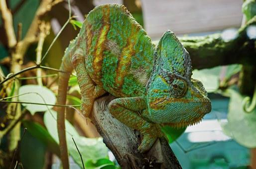 Chameleon, Lizard, Reptile, Animal, Close, Green