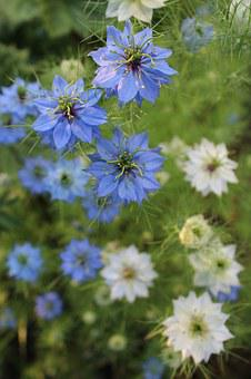 černucha Damascus, Nigella Flower, Love-in-a-mist
