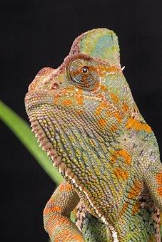 Chameleon, Veiled Chameleon, Yemen Chameleon, Macro