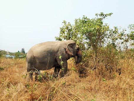 Elephant, Meadow, Dry Grass, Animal, Thailand, Nature
