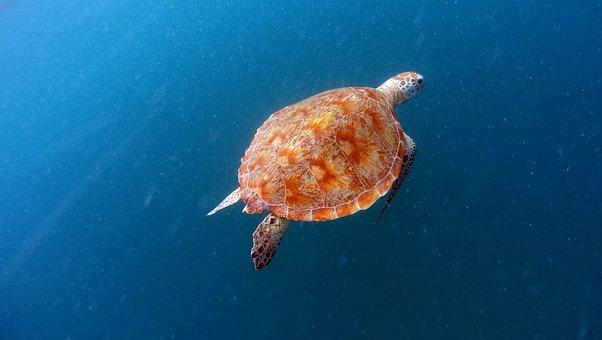 Turtle, Sea Turtle, Sea turtle, Nature, Animals