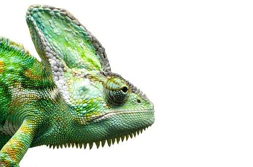 Reptile, Chameleon, Yemen, Pets, Isolated, Lizard