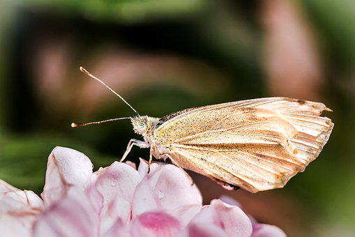 Small Cabbage White Ling, Pieris Rapae, Butterflies