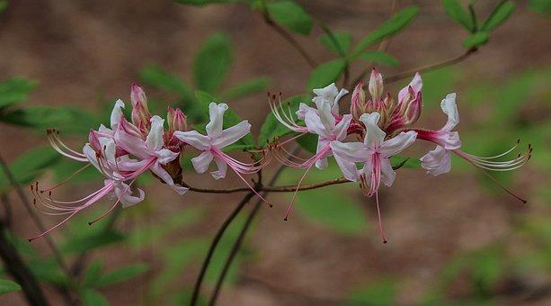 Wild Azalea, Wildflowers, Pinxter Flower, Pinxterbloom
