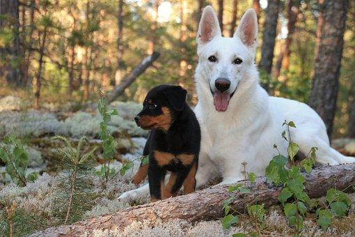 Rottweiler, Puppy, Dogs, Shepherd Dog, White