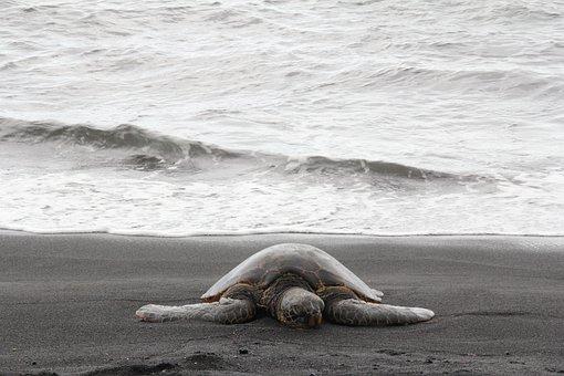 Sea Turtle, Hawaii, Marine, Beach, Endangered, Island