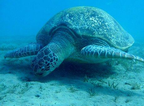 Turtle, Sea turtle, Egypt, Marsa Mubarak, Devilfish