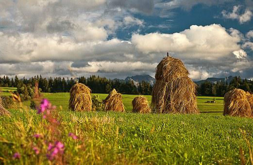 Stacks, Hay, Drying, Grass, Meadow, Green, Sharpness