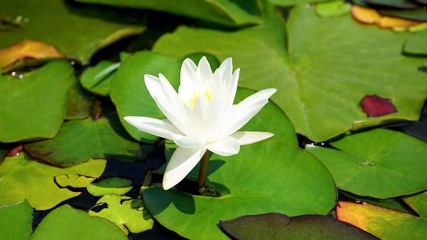 Lilly, Flower, Nature, Plant, Bloom, Green, Summer