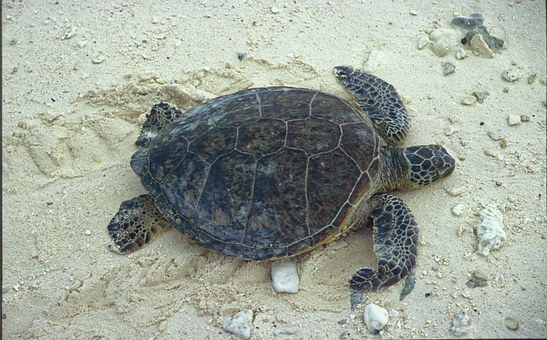 Turtle, Green Sea Turtle, Sand, Sea Turtle, Reptile