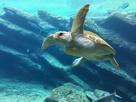 Turtle, Sea, Underwater, Blue, Sea Turtle, Reptile