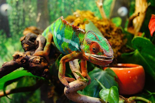 Chameleon, Colorful, Yemen Chameleon, Reptile, Animal