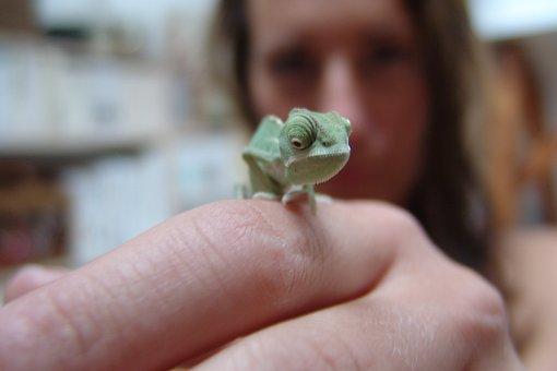 Chameleon, Yemen Chameleon, Reptile