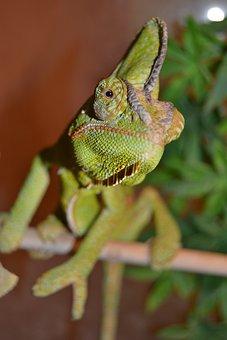 Chameleon, Pet, Green, Yemen Chameleon