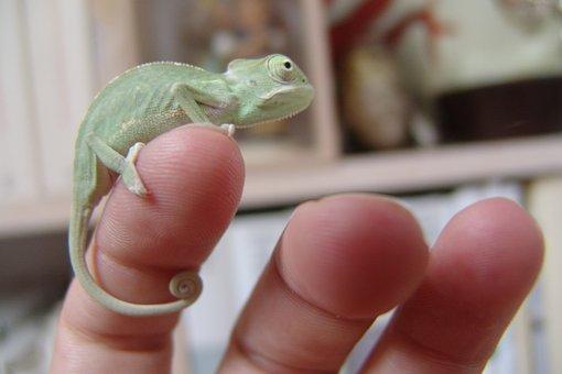 Chameleon, Yemen Chameleon, Reptile, Terrarium Animals