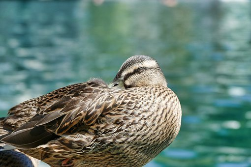 Duck, Bird, Animal, Water Bird, Animal World, Poultry